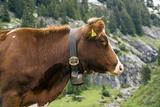 Cattle, Switzerland Fotoprint van Bob Gibbons