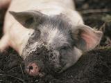 Piglet In Mud Fotografie-Druck von Bjorn Svensson