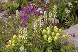 Alpine Flowers In Wyoming, USA Fotoprint van Bob Gibbons