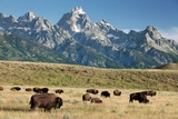 Herd of American Bison Fotoprint van Bob Gibbons
