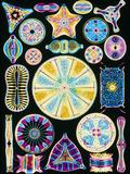 Art of Diatom Algae (from Ernst Haeckel) Premium Photographic Print