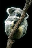 Koala Sleeping Photographic Print by Louise Murray