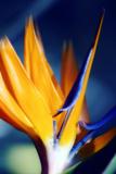 Bird of Paradise (Strelitzia Reginae) Photographic Print by Maria Mosolova