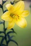 Orienpet Lily (Lilium Sp.) Photographic Print by Maria Mosolova