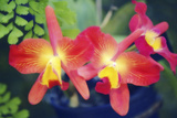 Orchids (Slc. Angel's Fantasy) Photographic Print by Maria Mosolova