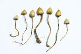 Magic Mushrooms (Psilocybe Semilanceata) Lámina fotográfica por Cordelia Molloy