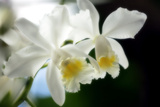 Corsage Orchid (Cattleya Hybrid) Photographic Print by Maria Mosolova