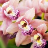 Orchid (Cymbidium Hybrid) Photographic Print by Maria Mosolova