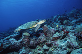 Hawksbill Turtle Photographic Print by Alexis Rosenfeld