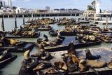 California Sea Lions Lámina fotográfica por Alan Sirulnikoff