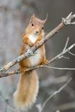 Red Squirrel on a Branch Fotografisk tryk af Duncan Shaw