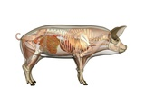 Pig Anatomy, Artwork Photographic Print by Friedrich Saurer