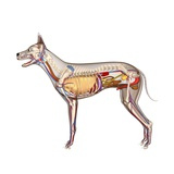 Dog Anatomy, Artwork Photographic Print by Friedrich Saurer