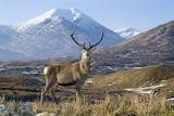 Red Deer Stag Premium fototryk af Duncan Shaw