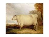 White, Short-Horned Cow in a Landscape Giclée-Druck von John Vine