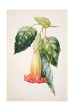 Pd.993-1973 Thorn Apple Flower from Ecuador, Datura Rosei Giclee Print by Augusta Innes Withers
