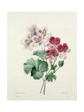 Geranium Variety (Crane's-Bill) from 'Choix Des Plus Belles Fleurs', 1827 Giclée-tryk af Pierre-Joseph Redouté