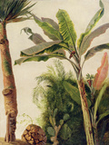 Banana Tree, C.1865 Gicléetryck av Frederic Edwin Church