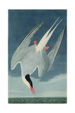 Arctic Tern, from 'Birds of America', Engraved by Robert Havell (1793-1878) Published 1835 Reproduction procédé giclée par John James Audubon