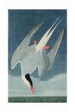 Arctic Tern, from 'Birds of America', Engraved by Robert Havell (1793-1878) Published 1835 Impressão giclée por John James Audubon