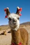 Domesticated Llama, Argentina Fotografie-Druck