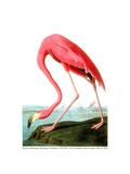 American Flamingo, 1834 Giclée-tryk af John James Audubon