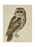 Brown Owl (Strix Ulula) by Reverend Christopher Atkinson Reproduction procédé giclée par Rev. C. Atkinson