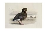 A Pink-Footed Goose Giclée-Druck von Archibald Thorburn