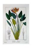 Bird of Paradise, or Crane Flower, 1836 Reproduction procédé giclée par Pancrace Bessa