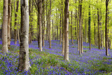 Bluebells (Hyacinthoides Sp.) Photographic Print by Jeremy Walker