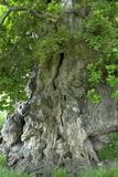 Ancient English Oak (Quercus Rober) Tree Fotografie-Druck von Colin Varndell