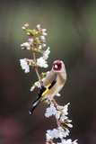 Goldfinch Reproduction photographique par Colin Varndell