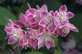 Deutzia Longifolia 'Veitchii' Fotografie-Druck von Colin Varndell