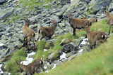 Alpine Chamois Reproduction photographique par Dirk Wiersma