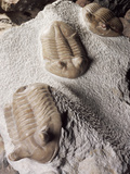 Fossiled Trilobites Photographic Print by Dirk Wiersma