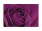 Persian Purple Rose Premium Giclee Print by John Harper