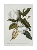 Magnolia Gicléedruk van Georg Dionysius Ehret