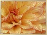 Dahlia Flower with Pedals Radiating Outward, Sammamish, Washington, USA Impressão em tela emoldurada por Darrell Gulin