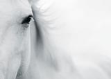 Caballo Blanco II Poster von Shana Rae