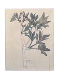 Elder, Walberswick, 1915 Giclée-Druck von Charles Rennie Mackintosh