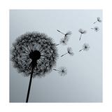 Flower Dandelion On Gray Background Prints by  silvionka