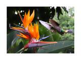 Flying Hummingbird At A Strelitzia Flower Kunstdrucke von  henner