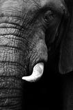 Artistic Black And White Elephant Plakater af  Donvanstaden