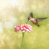 Dreamy Image Of A Tiny Female Hummingbird Feeding On A Pink Zinnia Reproduction photographique par Sari ONeal