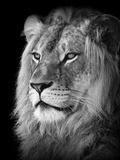 Portrait Of A Lion In Black And White Fotografie-Druck von Reinhold Leitner