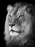Portrait Of A Lion In Black And White Stretched Canvas Print by Reinhold Leitner