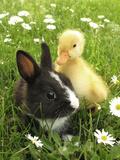 Rabbit Bunny And Duckling Best Friends Lámina fotográfica por Richard Peterson