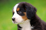 Portrait Of Bernese Mountain Dog Reproduction photographique par Michal Bednarek