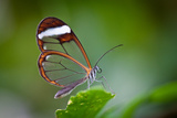 Glass Wing Butterfly Lámina fotográfica por Bahadir Yeniceri