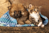 Spitz Puppy And Kitten Breeds Maine Coon, Cat And Dog Photographic Print by  Lilun